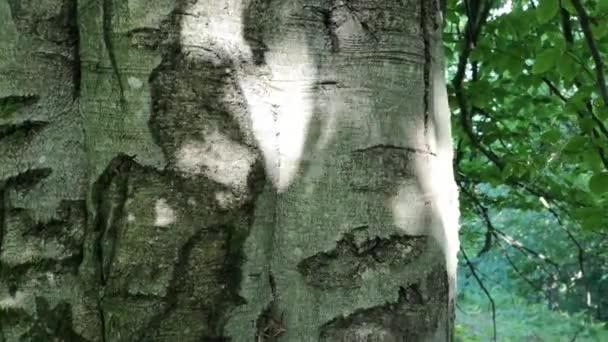 Hatalmas öreg gyertyán fa a hegyi erdőben