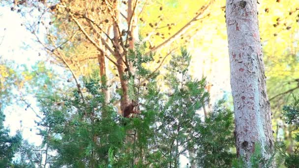Red squirrel (Sciurus vulgaris) eating cypress fruits