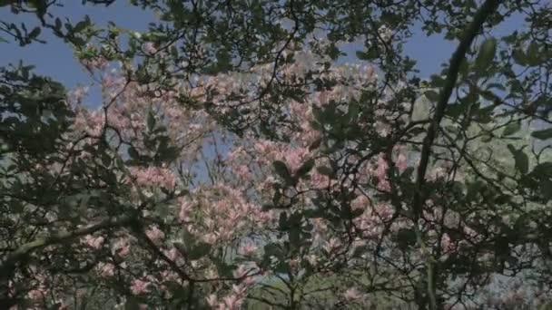 Středně široké sledovací kamerový jeřáb vzdaluje kvetoucí magnolie strom s kvetoucí Růžové květiny na zelený strom listy během slunečný jarní den