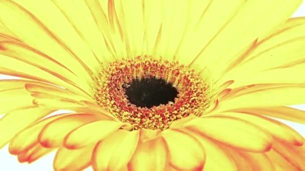Střední zblízka pohybu času zanikla záběr žluté oranžové sedmikráska květ gerbery umírá na bílém pozadí.