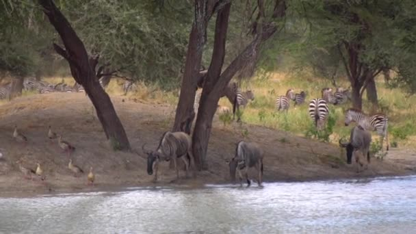Wildebeests, Zebras and Ducks By River Tanzániában, Afrikában. Állatok a természetben