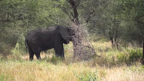 Elefánt Álló árnyalatú fa Tanzánia Nemzeti Park, Lassított
