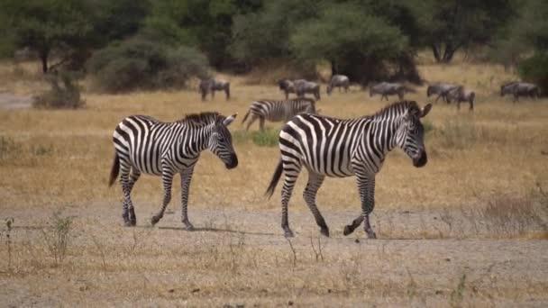 Slow Motion of Zebras Walking in Savannah of Tanzania National Park