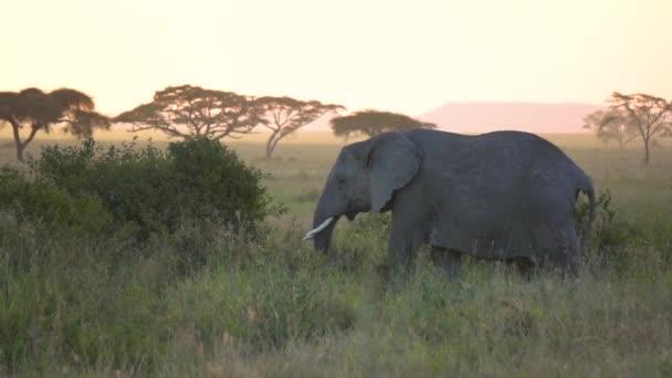 Afrikai elefánt a Tanzániai Nemzeti Parkban Naplemente után füvet eszik, Lassított mozgás