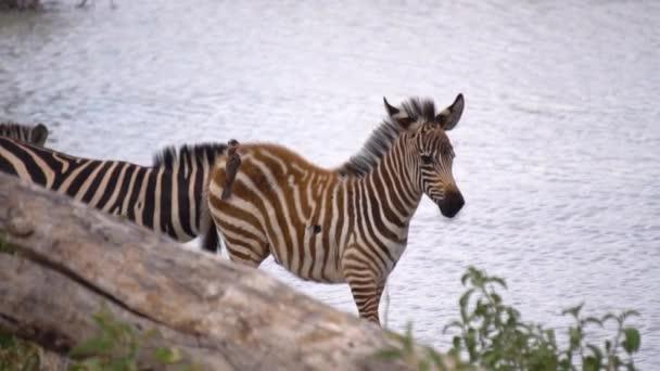 Zpomalení Zebra a Bird Savanna River Harmony. Národní park Tanzanie