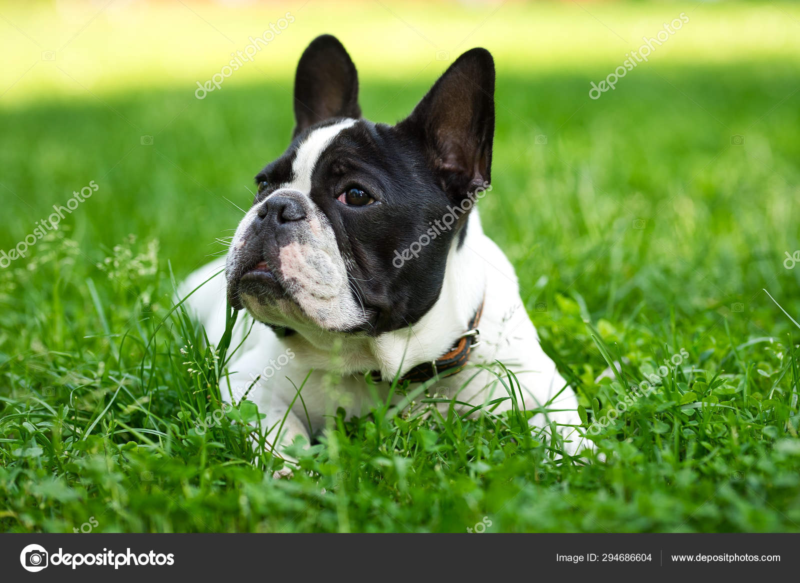 Cute Adorable Black And White French Bulldog Puppy In The Grass Stock Photo C Keyci13 Gmail Com 294686604