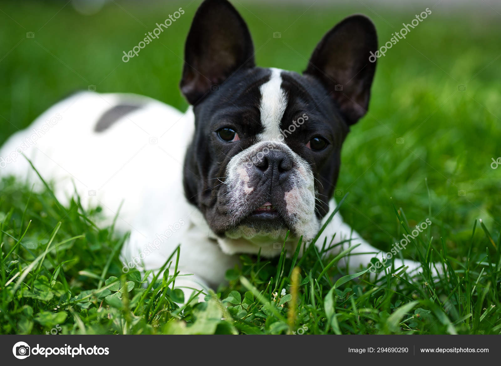 Cute Adorable Black And White French Bulldog Puppy In The Grass Stock Photo C Keyci13 Gmail Com 294690290