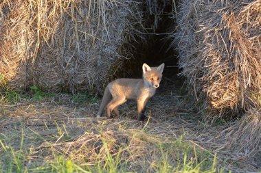 Wild Little fox   Fuchs stock vector