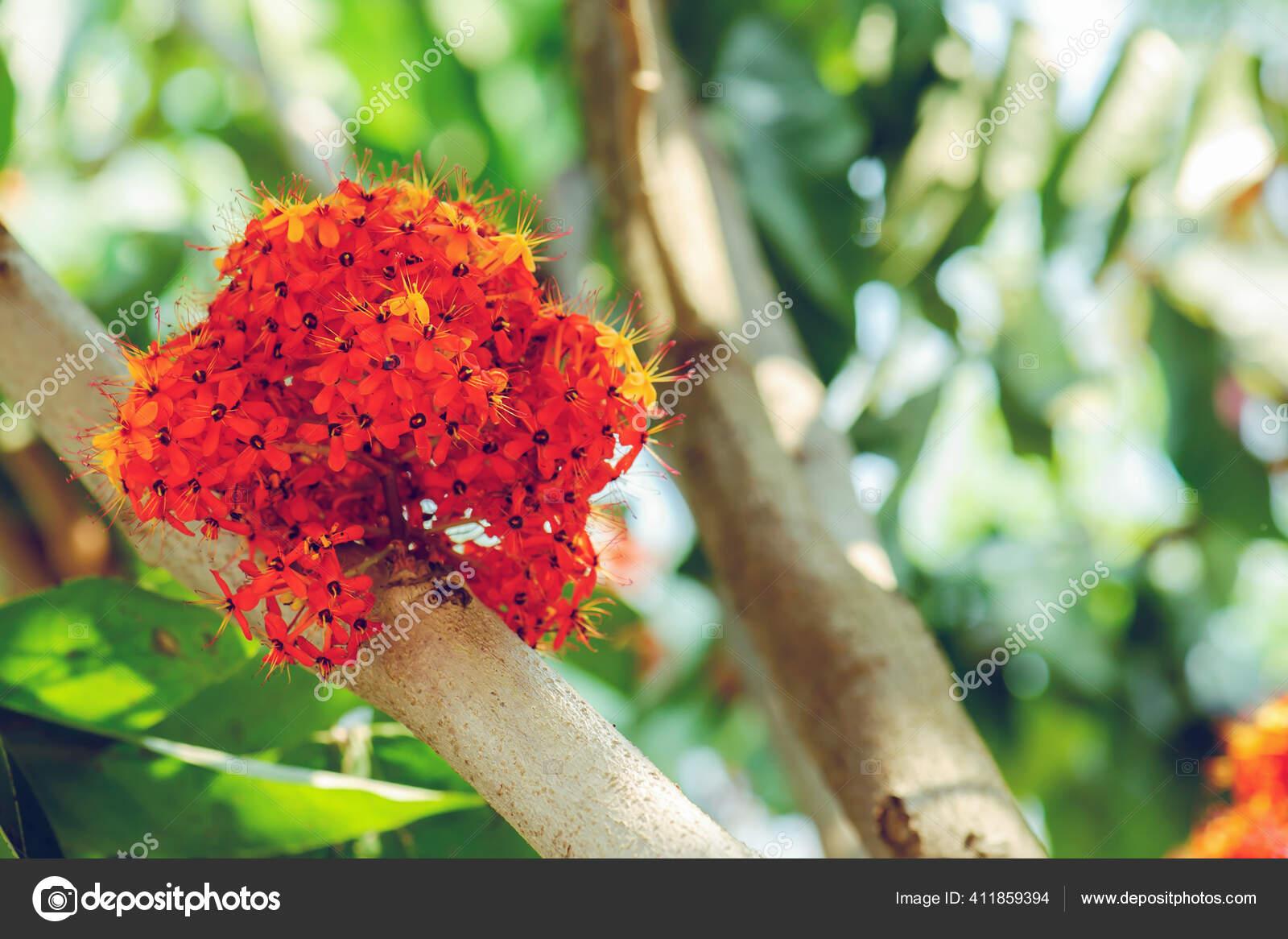 Bunga Asoka Stok Foto Bunga Asoka Gambar Bebas Royalti Depositphotos