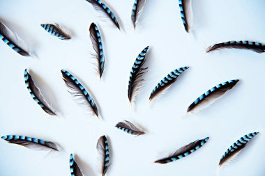 Jay feathers on a white background. Flatlay