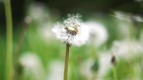 Běžný Dandelion fouká pomalý pohyb