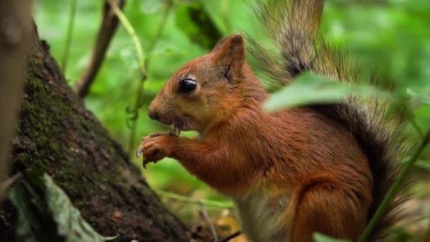 Aranyos vörös mókus étkezési dió, majd nézett a kamera lassított.