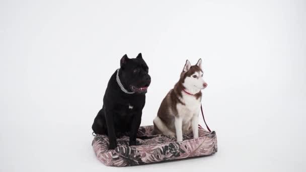 Cane Corso und Husky sitzen in der Nähe auf weißem Hintergrund. Hundefreundlich
