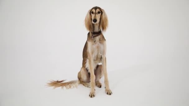 Hnědý pes Saluki sedící na bílém pozadí