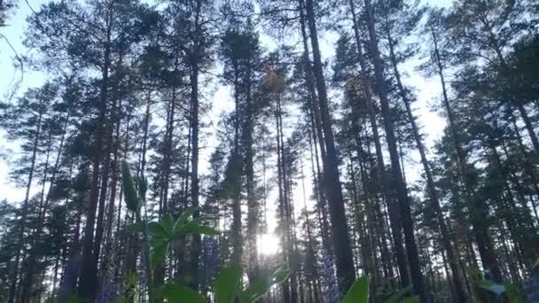 Vysoké borovice v prosluněném lese