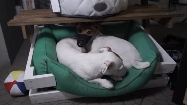 Two Jack Russell Terrier are resting in a basket. Slow Motion.