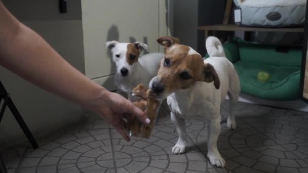 Frau neckt Jack Russell Terrier mit Futter. weibliche Hand, die einem Hund Knochen gibt. volles Glas Hundefutter. Leckerbissen für Haustiere. Zeitlupe.