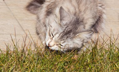 Silver cat of siberian breed in a garden. Adorable pet outdoor on the grass green, hypoallergenic animal of livestock in relax