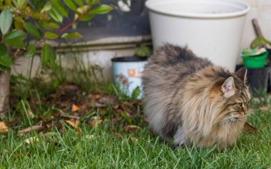 Furry cat of livesrtock in relax in a garden, purebred siberian pet. Hypoallergenic animal