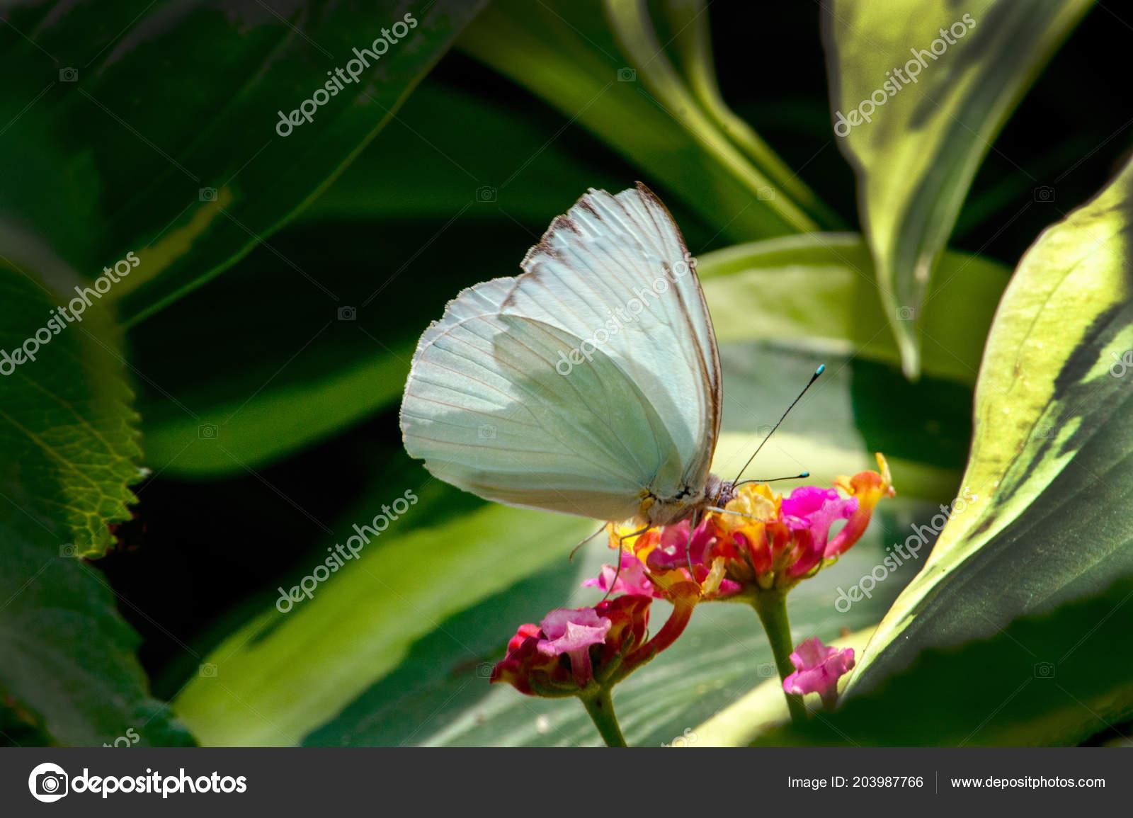Beautiful white butterfly pretty garden enjoys sip colorful flowers a beautiful white butterfly in a pretty garden enjoys a sip from colorful flowers photo by inyrdreams mightylinksfo
