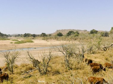 Limpopo river crossing the desert landscape of Mapungubwe National Park, travel destination in South Africa. Braided Acacia and huge Baobab trees with red sandstone cliffs