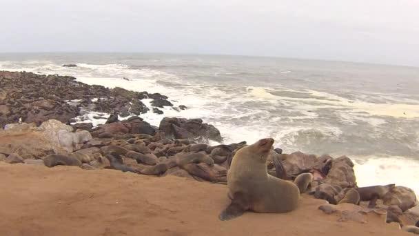Kolónia a Cape Medvefókák (új Pusillus) a atlanti Ocean Beach, csontváz partján, Namíbia