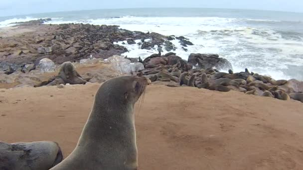 Colony of Cape Fur Seals (Arctocephalus Pusillus) on Atlantic Ocean Beach, Skeleton Coast, Namibia