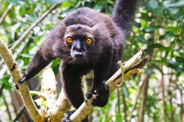 Male black lemur, Eulemur macaco, Madagascar