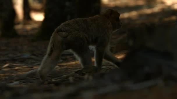 Azrou-erdőben makákó majom, marokkói atlasz.