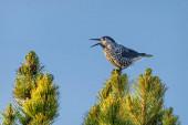 Ptačí louskáček (Nucifraga caryocatactes) zblízka sedí a zpívá na vrcholu cedrové borovice s kužely