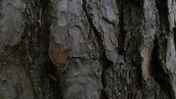 Rinde der Nadelhölzer Baum. Hintergrund