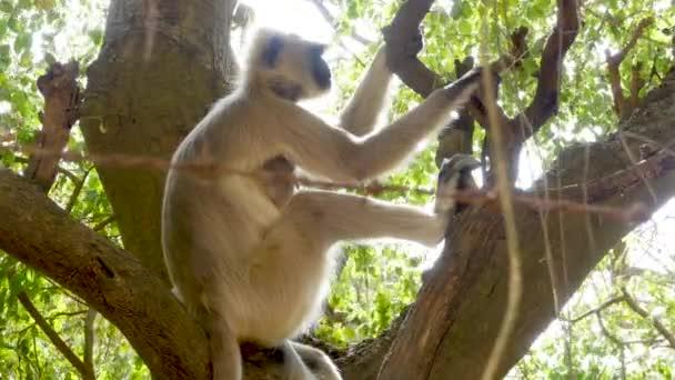 Langur majmok egy fa, egy napsütéses napon