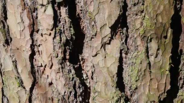 Tree bark. close up. The camera is slowly moving lengthwise the trunk