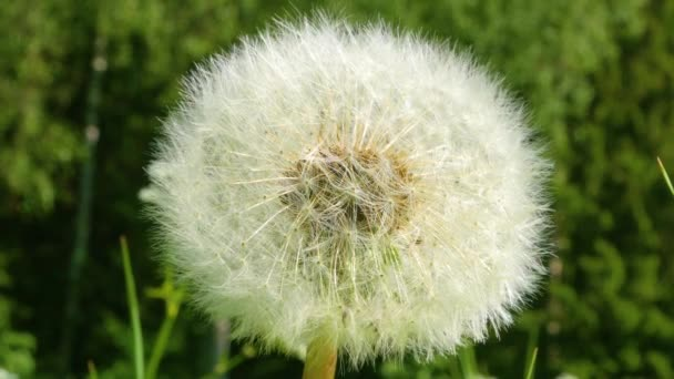 Dandelion se blíží za jasného slunečného dne