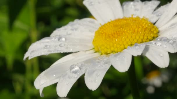 Chamomile flower with large drops of dew. Macro