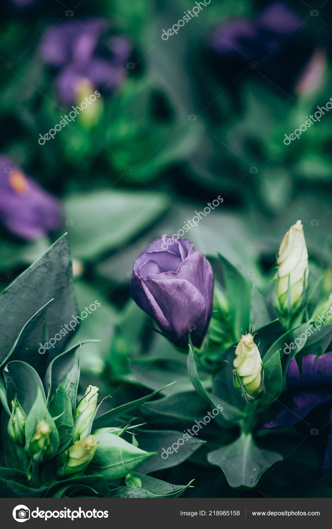 Nahaufnahme Der Lisianthus Oder Eustoma Blütenpflanzen Garten