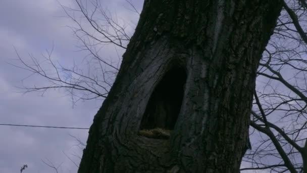 Albero ombreggiato con buco al centro, nido per gufi