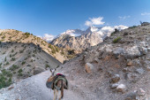 The domestic donkey on the duty of carrying cargo on saddle in fann mountains in Tajikistan