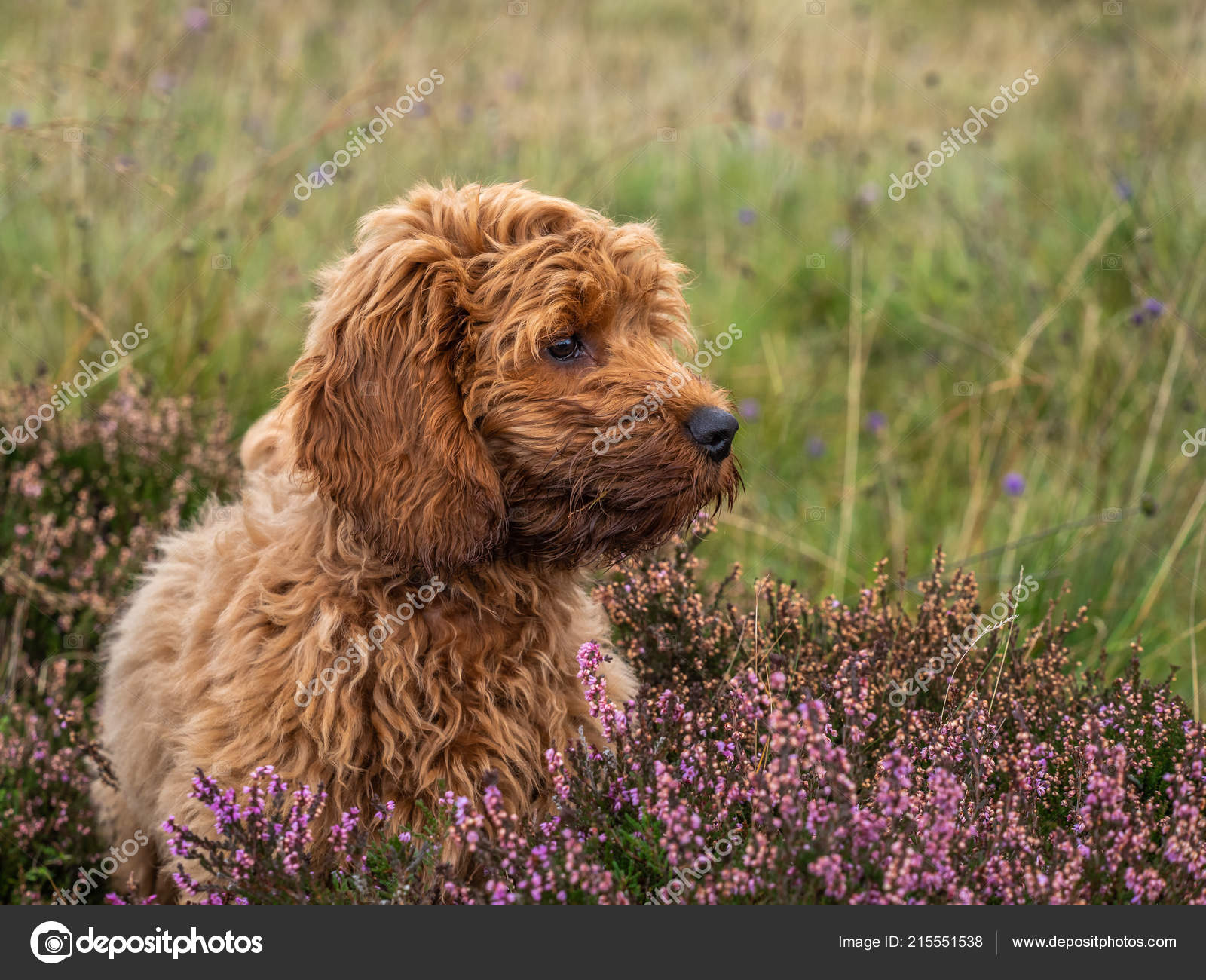 Young Red Cockapoo Puppy Enjoying Being Amongst Heather Local Moorland Stock Photo C Mountaintreks 215551538