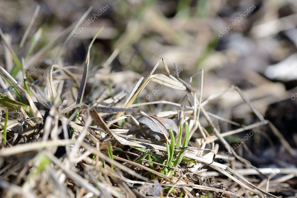 Dry grass in the spring forest close up