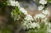 Krásný bílý třešňový strom kvete na jaře