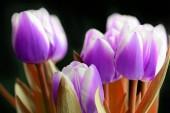 Illata Unreal lila tulipánok egy sötét háttér közelről