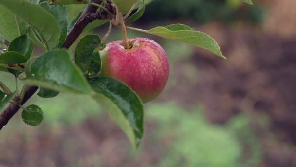 Jablečné dozrávání v zahradě během deště