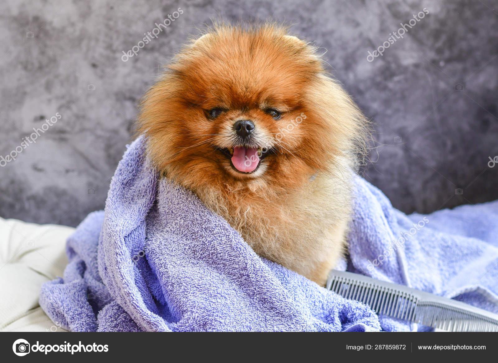 Cute Small Happy Fluffy Pomeranian Dog Towel Bath Grooming Stock Photo C Gk1982 287859872