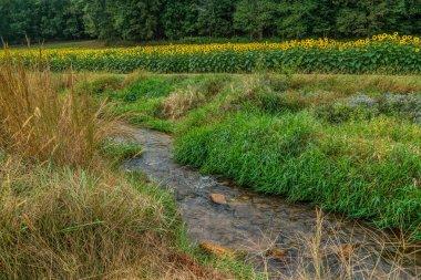 Sunflower field with creek
