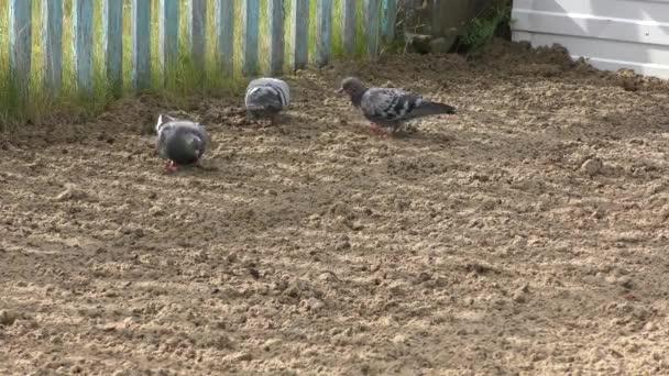 birds pigeons peck seeds on the ground