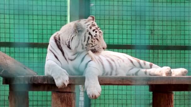 Bílý tygr s černými pruhy se umývá na dřevěné palubě. Zavřít pohled se zeleným pozadím zoo. Divoká zvířata, velká kočka