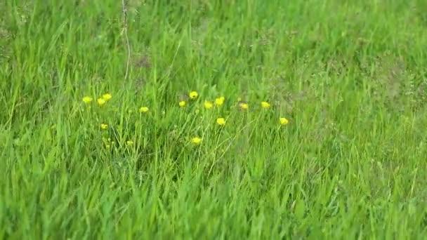 Makro malé žluté květy na zeleném letním poli zblízka. Rozmazané pozadí a živé divoké květinové záběry