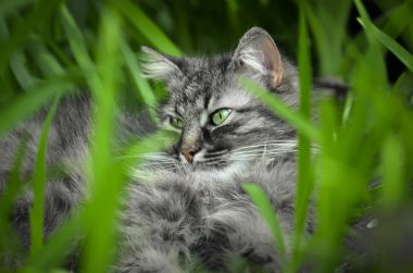 Wild cat lying among the green with green eyes