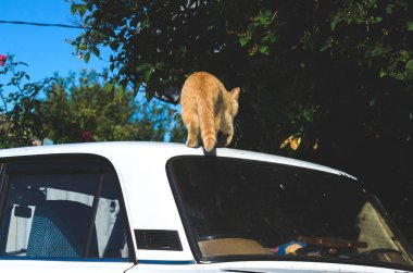 Red cat climbed onto a white car in the village